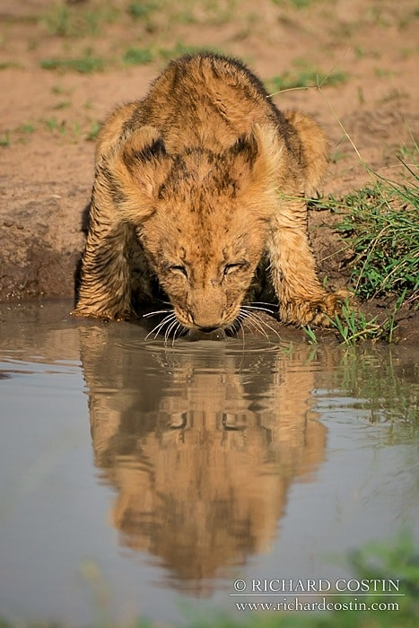 Lion cub drinking from pool in the masai mara.