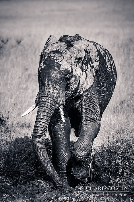 Elephant portrait taken in the masai mara