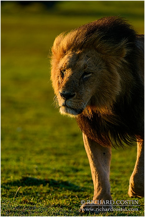 Lion walking through the masai mara