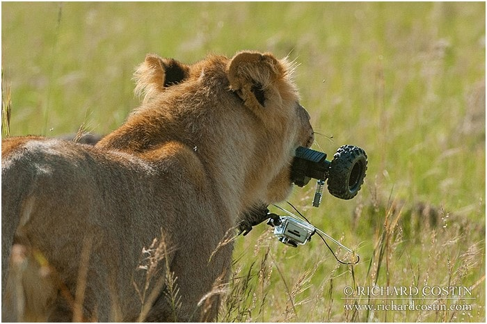 Young Lion running off with a GoPro camera in its mouth