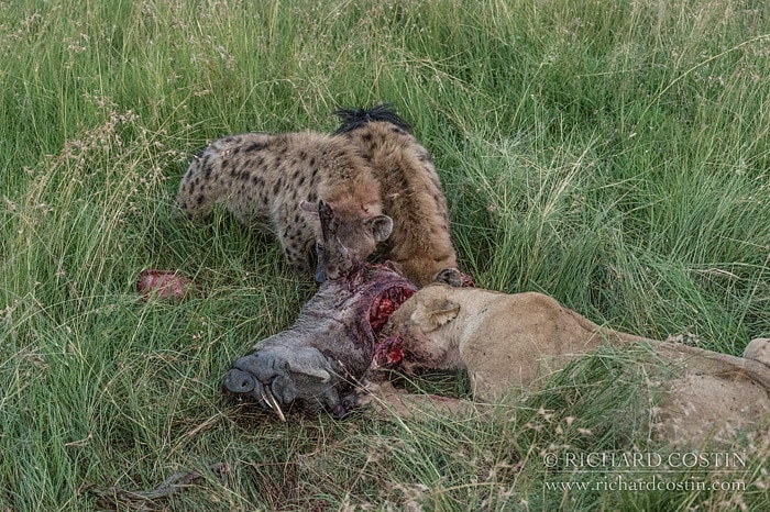 Clearly to tired to put up a real fight the nearby Hyenas took a chance and moved in. The first time I have seen this. Lion and Hyena eating together.
