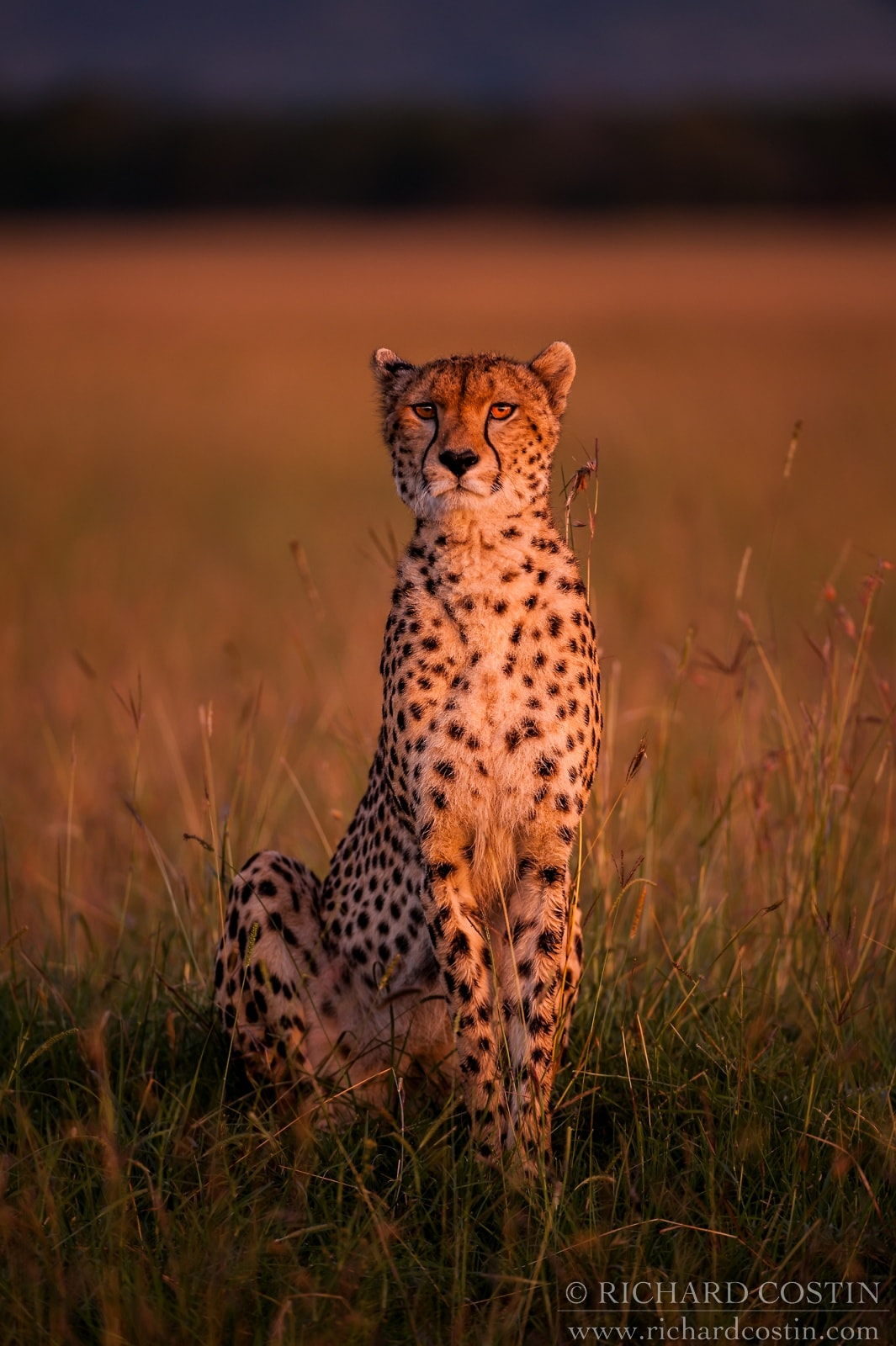 Cheetah image, taken on a wildlife photography workshop run in the Masai Mara, Kenya, Africa.