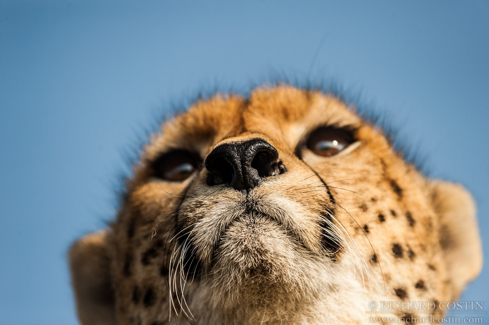 Cheetah photograph taken against the sky on photography class with Richard Costin