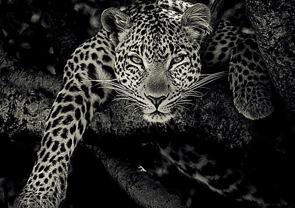 Leopard in a tree staring at wildlife photographer Richard Costin
