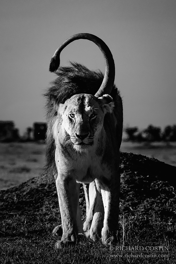 Courting lions. Africa Live photo blog from the Masai Mara by wildlife photographer Richard Costin.