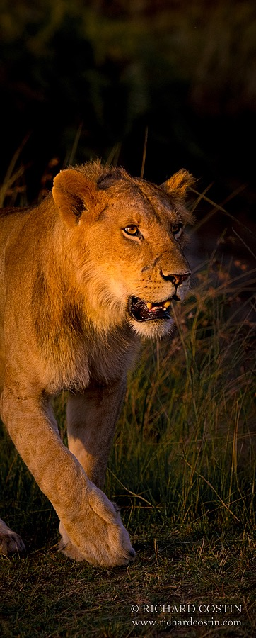 Lion in red morning light by wildlife photographer Richard Costin. Wildlife Photography workshops.