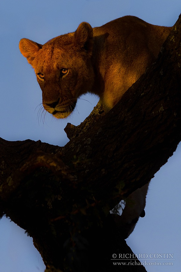 African Lion photograph taken by Wildlife Photographer Richard Costin out in the Masai Mara, Kenya, Africa.
