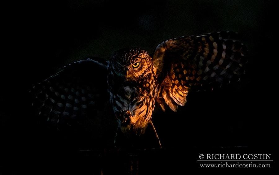 Little Owl, taken on the Nikon D500 by Wildlife Photographer Richard Costin
