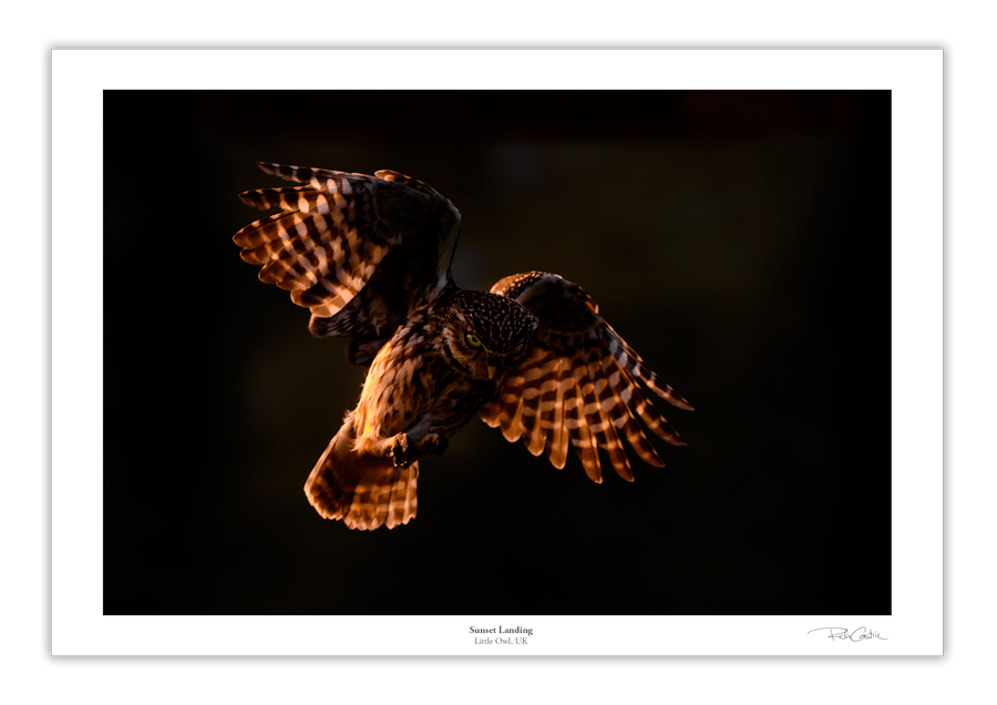 Sunset Owl Little Owl UKwildlife photography fine art print