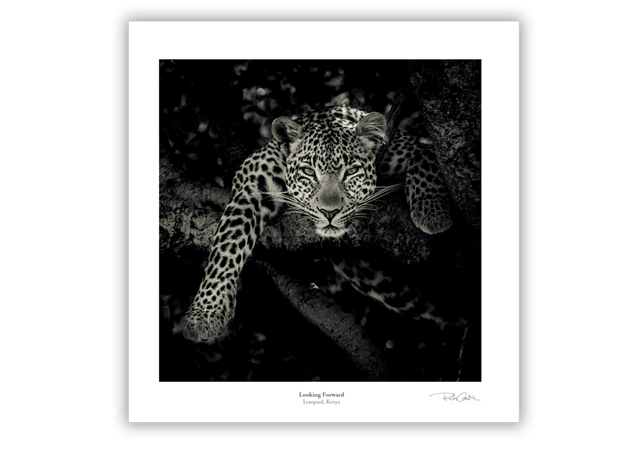 Looking Forward African Leopard wildlife photography fine art print
