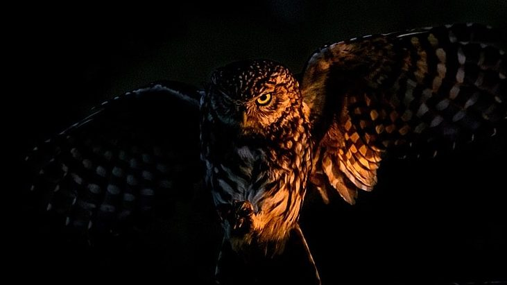 little owl wildlife photograph taken at sunrise by richard costin