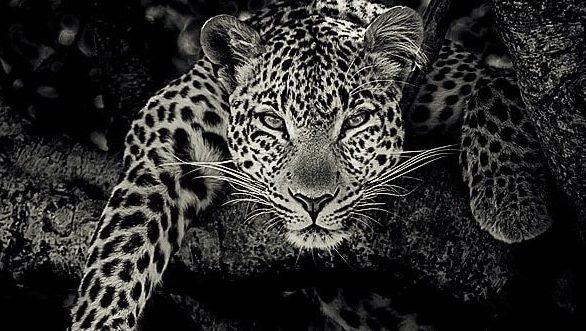 leopard black and white fine art portrait by wildlife photographer richard costin