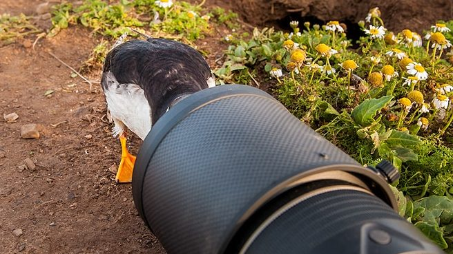 puffin with its head inside wildlife photographer richard costins nikon 200-400 lens