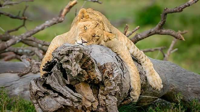 young lion sleeping on a log in the masai mara. taken on a big cat wildlife photography safari workshop