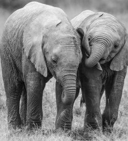 Elephant wildlife fine art print, Best Friends, Richard Costin