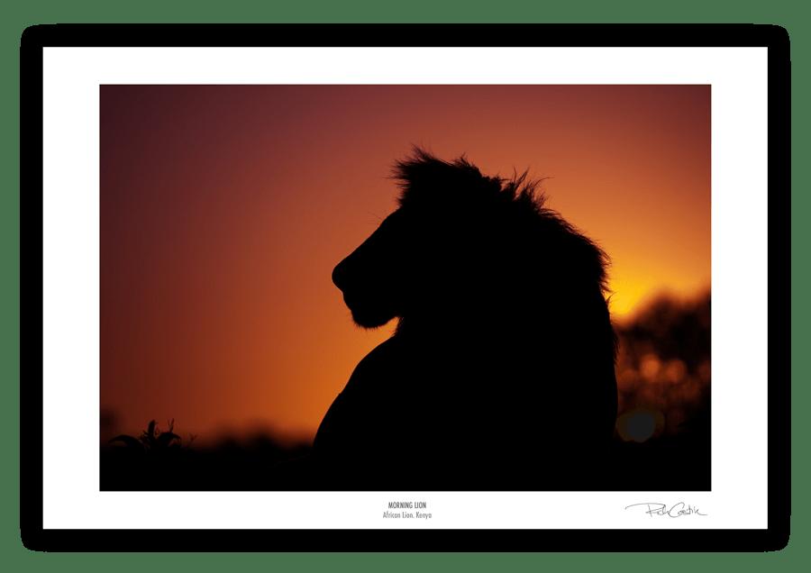 Morning Lion Afrian wildlife photography fine art print