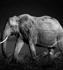 Elephant Storm, African Elephant. Fine art wildlife photography print