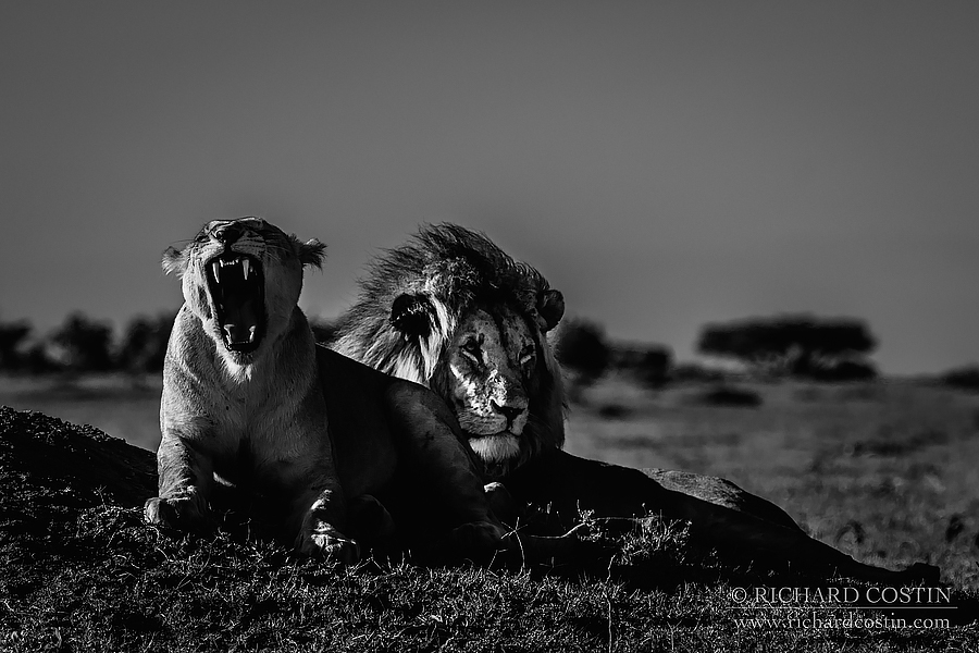 Lions on the plains.. Africa Live photo blog from the Masai Mara by wildlife photographer Richard Costin.