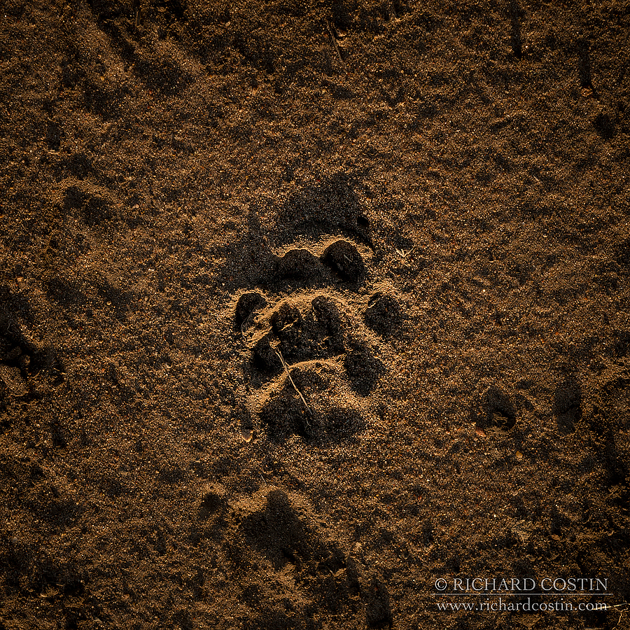 Leopard footprint. Africa Live photo blog from the Masai Mara by wildlife photographer Richard Costin.
