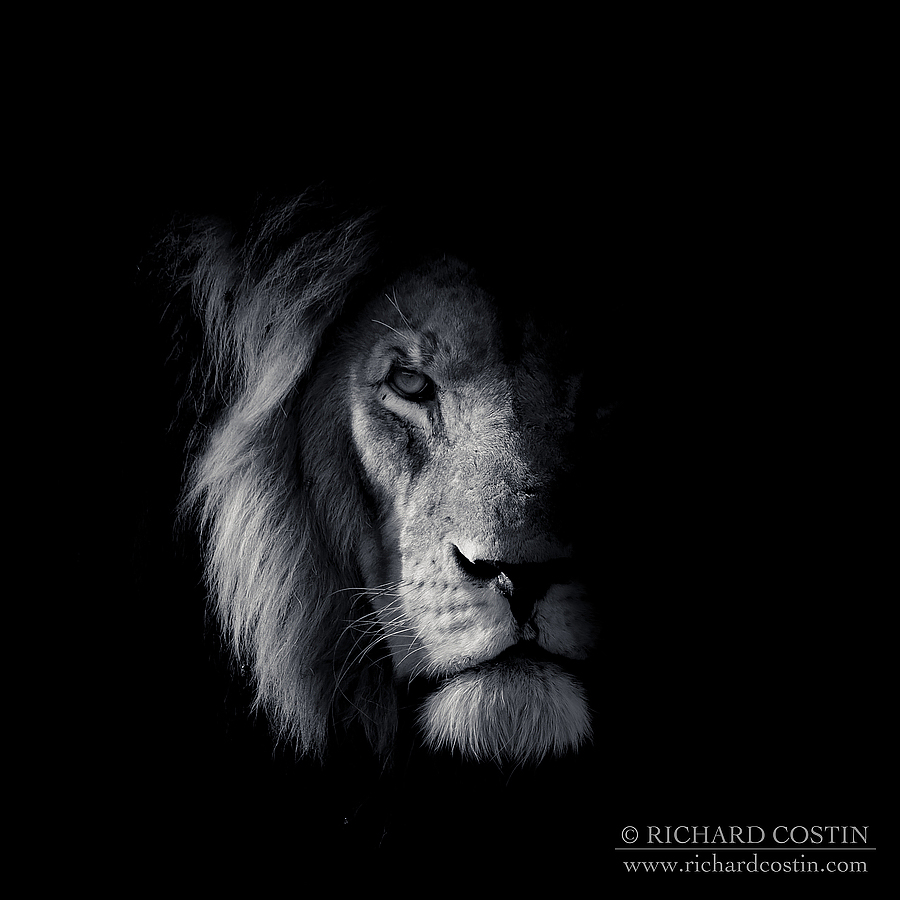 Lion portrait. Africa Live photo blog from the Masai Mara by wildlife photographer Richard Costin.