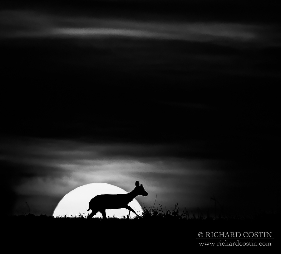 Thompson's Gazzelle at sunset. Africa Live photo blog from the Masai Mara by wildlife photographer Richard Costin.