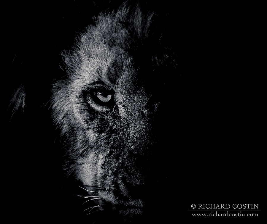 Black and white Lion portrait. Africa Live photo blog from the Masai Mara by wildlife photographer Richard Costin.