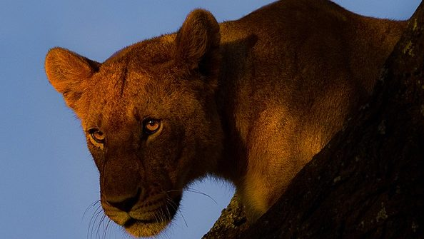 lion in a tree at sunrise