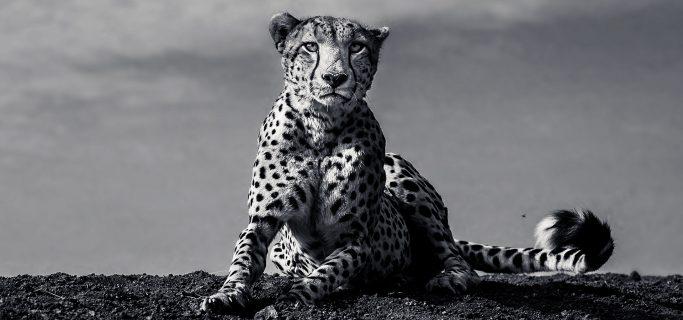Cancellation place available, Big Cat Safari