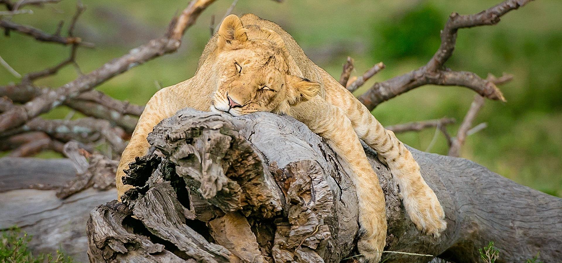 Sleeping young Lion in the Masai Mara.