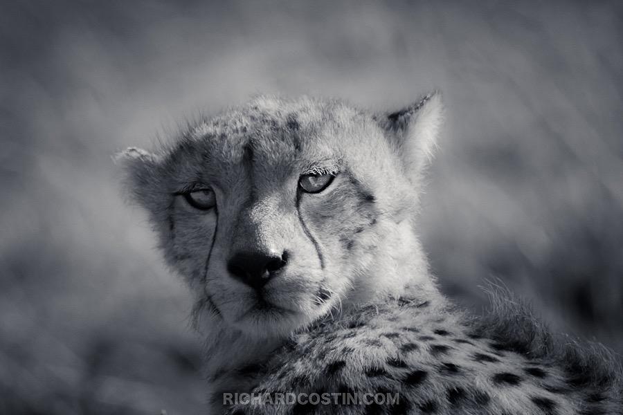 Cheetah image taken on a Nikon mirrorless camera by wildlife photographer Richard Costin.